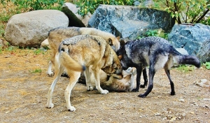 Aidan, Luna, Boltz picking on Denali (640x376)