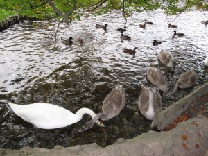 Castle grounds, Swan, Geese and Ducks, Scotland