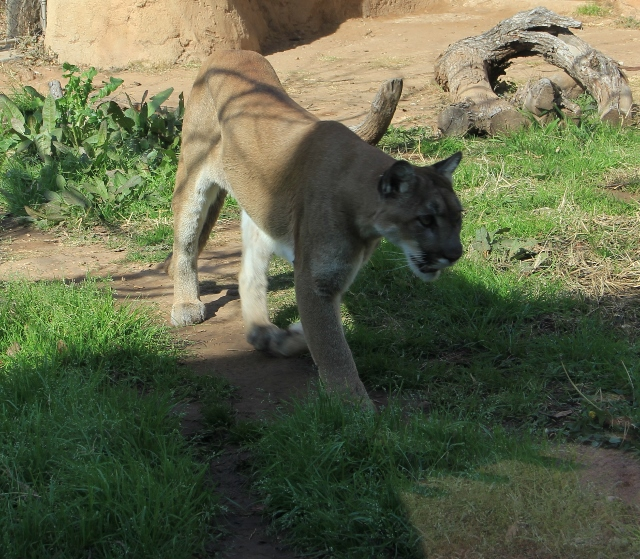What is the male term for cougar