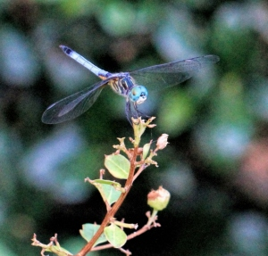 Blue, Blue Dragonfly