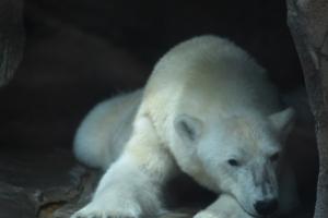 polar bear head down