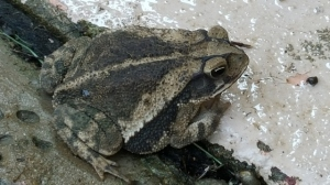 Toad sitting on sidewalk