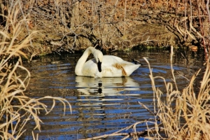 White Swan Looking at Reflection