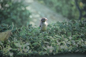baby sparrow (640x427) glitter mute background and foreground