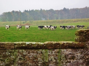 Ancient stone wall, black and white cows, fall colors