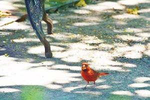 cardinals 069 (640x427)