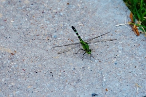 Green, Green Dragonfly