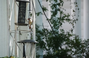 female at feeder (640x427)