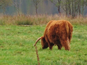 Highland cow river (640x480)