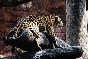 Jaguar Comfortable