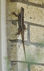 Lizards everywhere