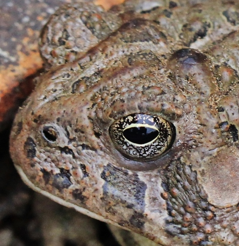close up of toad's eye
