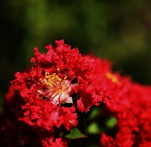 I love the flowering parts of the crepe myrtles. These are on a red one.