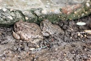 Like father like son toads (640x427)