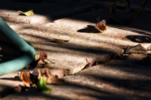 butterflies 031 (800x534)