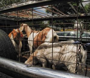 goats at walmart (800x696)