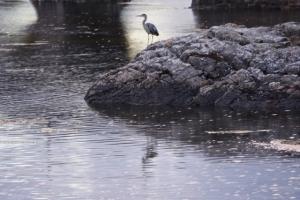 Gray heron near Eilean Donan Castle