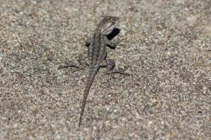 mockingbird and baby lizard 017 (800x533)