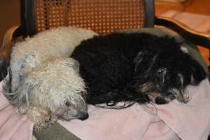wet puppies, downpours 001 (800x534)