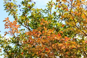 fall colors jasmine and crepe myrtles 006 (640x427)