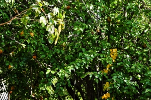 golden pears and golden leaves (640x427)