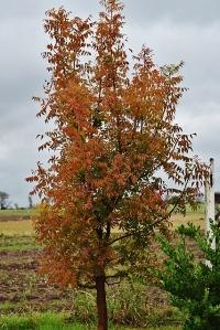 Pistache in fall colors!