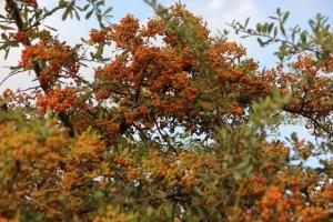 Orange Berries--fall