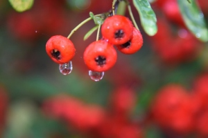 Raindrops on Berries
