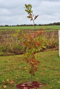 And a Red Oak in fall colors!