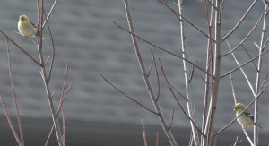 Close up of the two golden finches?