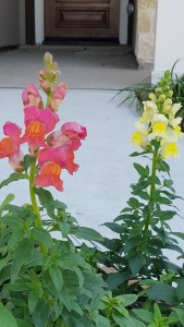 red and yellow snapdragons