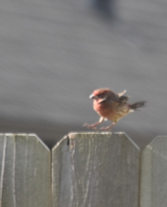 Now this little dude was dancing around and wouldn't sit still for a picture. Purple finch? House finch?
