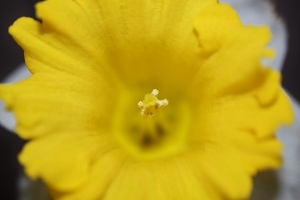 puppies and micro shots of daffodils 029 (640x427)