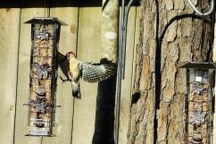 red bellied woodpecker 033 (640x427)