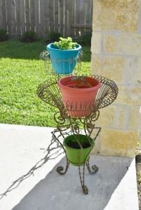 garden in the sun, planted pots, bay laurel 035 (427x640)