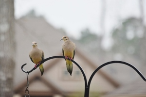 mourning doves (640x427)