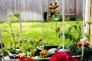 tomato plants and a frog (640x427)