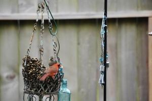 blackbird and cardinal at a standoff (640x427)