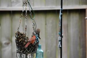 blackbird settling on seeds with cardinal (640x427) (2)