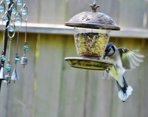 blue jay wings spread on feeder (640x506)