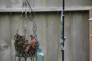 cardinal, blue jay, woodpecker, puppies new haircut 077 (640x427)