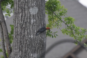 cardinal, blue jay, woodpecker, puppies new haircut 085 (640x427)