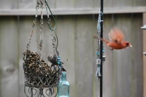 cardinal flying away (640x427)