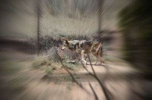 Mexican gray wolves (640x426) with zoom burst with vignette