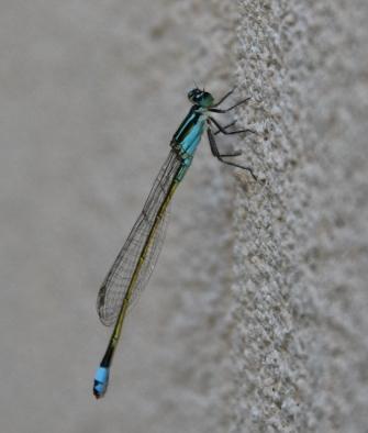 https://terryspear.files.wordpress.com/2016/05/baby-blue-dasher-dragonfly-544x640.jpg?w=335&h=394