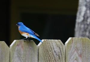 bluebird sideview back