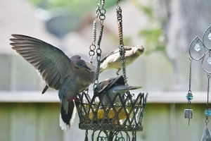 dove wings spread, mockingbird (640x427)
