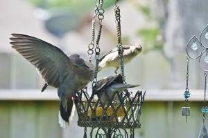 dove wings spread, mockingbird (640x427)