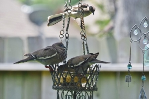 doves and mockingbird wnating them to go away (640x427)