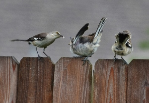 feed me mockingbird (640x445)
